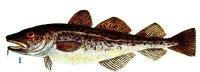 Icelandic cod